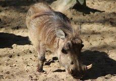 Warthog commun Photo libre de droits