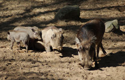 Warthog commun Photo stock