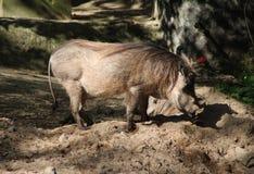 Warthog commun Image stock