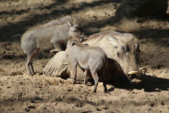 Warthog commun Images stock