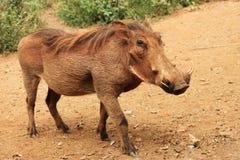 Warthog comum Fotos de Stock Royalty Free