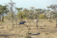 Warthog. Couple of warthog in the African bush Stock Photography