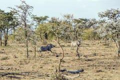 Warthog Stock Photography
