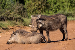 Warthog couple Stock Images