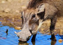 Warthog - Crisp blue Royalty Free Stock Images