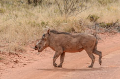 Warthog crossing road Stock Photo