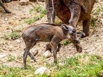 Warthog cub Stock Photos