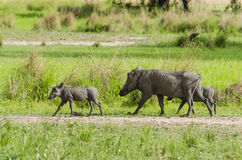Warthog with cubs Royalty Free Stock Photography