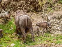 Warthog and cubs Royalty Free Stock Photo
