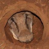 Warthog dans un trou. Images libres de droits