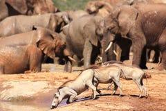 Warthog, das nahe Elefanten trinkt Stockfotos