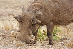 warthog de enracinement Photo libre de droits