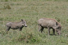 Warthog de l'Afrique, Tanzanie avec votre chéri image libre de droits