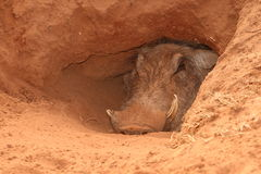 Warthog den. Old male Warthog in an Aardvark hole,his den Royalty Free Stock Image