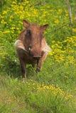 Warthog in den Blumen Stockfotografie