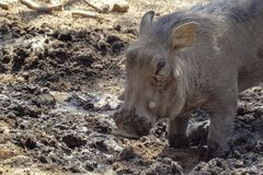 Warthog is digging the earth in the savannah royalty free stock images