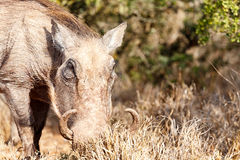 Warthog digging in the grass. Warthog standing in the field and digging in the grass Stock Images