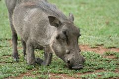 Warthog down on its knees grazing Royalty Free Stock Images