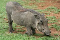 Warthog down on its knees grazing Stock Image