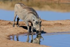Warthog drinking Stock Photo
