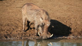 Warthog drinking Stock Images