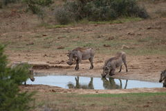 Warthog drinking  Royalty Free Stock Image