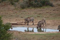 Free Warthog Drinking  Royalty Free Stock Image - 5371686