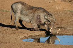 Warthog Drinking Royalty Free Stock Images