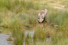 Warthog drinking from a pond Stock Photos