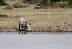 A Warthog drinking water Royalty Free Stock Photography