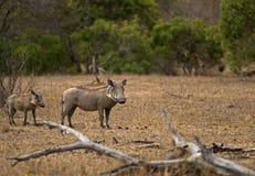 Warthog e o pequeno Fotografia de Stock