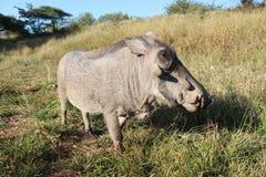 Warthog eating Stock Images