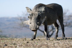 Warthog eating grass. Close up of a warthog grazing on grass Royalty Free Stock Images