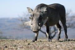 Warthog eating grass. Royalty Free Stock Images