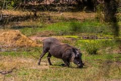Warthog eating grass in the Kruger nature reserve on an African safari in October 2017. Warthog eating grass in the Kruger nature reserve on an African safari on Stock Photography