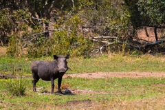 Warthog is eating grass in the Kruger nature reserve on an African safari in October 2017. Warthog is eating grass in the Kruger nature reserve on an African Royalty Free Stock Photo