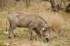 Warthog eating Stock Photos