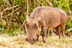 Warthog eating intensely on his grass. In the field Royalty Free Stock Photos