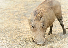 Warthog eating Royalty Free Stock Image