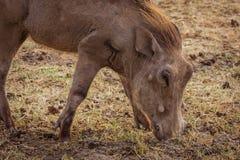 Warthog. Eating warthog. Photo taken during safari. Africa. Tanzania royalty free stock photos