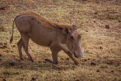 Warthog. Eating warthog. Photo taken during safari. Africa. Tanzania royalty free stock images