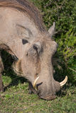 Warthog Eating. Wathog with sharp tusks and coarse body hair Royalty Free Stock Photography