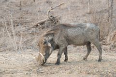 Warthog eating in woodlands stock photography