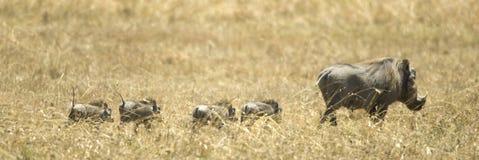 Warthog en el Masai Mara Kenia imagen de archivo libre de regalías
