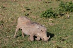 Warthog en el salvaje Fotos de archivo