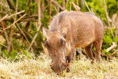 Warthog enjoying his grass. In the field Stock Photography