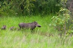 Warthog Familie Stockfotos