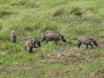 Warthog Familie stockfotografie