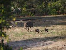 Warthog Familie Lizenzfreies Stockfoto