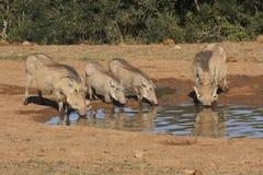 Warthog Familie an einem waterhole Stockfoto